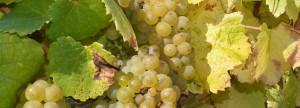 Melon de Bourgogne/Muscadet